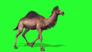 Free Green Screen - 3D Walking Camel