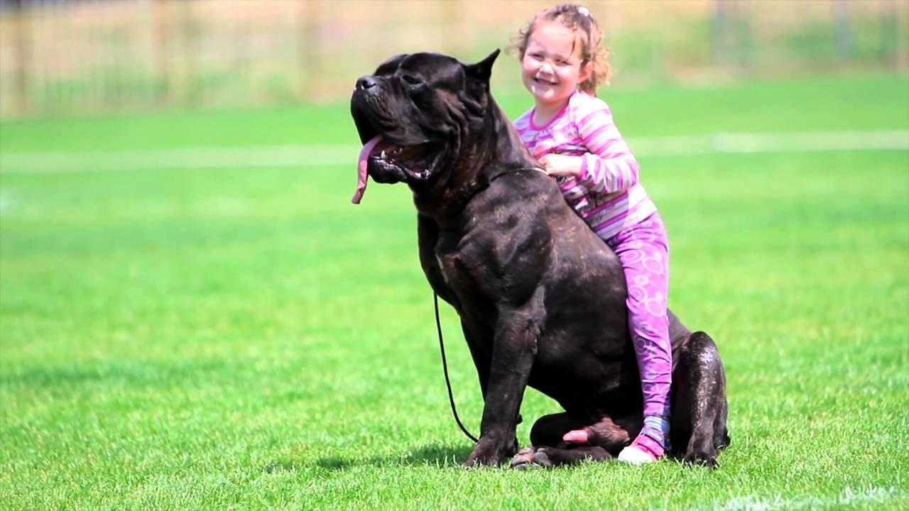 Big Cane Corso Dog Protecting Baby Dog And Baby Funny Moments