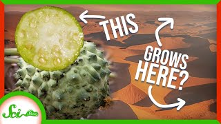 This Melon Builds a Whole Ecosystem in the Desert