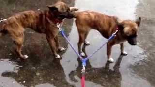 琉球犬みたいなミーミーとキーキー 巨大タイフーン退屈で5分だけ散歩ー ...