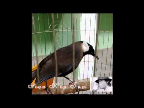 chim khuou kt