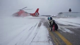 空港の安全はオイラが守る!滑走路から野生生物を追い払うK-9所属のボーダーコリー犬(アメリカ)