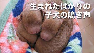 2時間半前に子犬が生まれました。 「ミャーミャー」鳴いています。