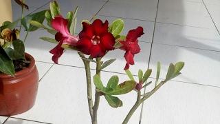 Saiba como Salvar Suas Rosas do Deserto