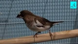 Cara Memancing Burung Pipit Yang Malaes Bunyi Agar Racin Gacor Dan Ngplong