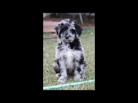 Lucy Aussiedoodle Puppy 12 weeks