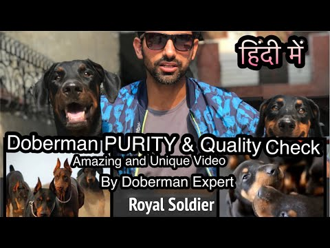 Doberman PURITY and Quality Check Points by Doberman Expert cum Owner.