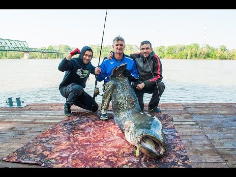 Download Som rečna ala,surova borba- Monster catfish.