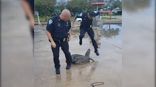 Cop Screams Like Little Girl When Alligator Resists Arrest