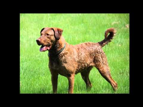 Beautiful photos dog breed Chesapeake Bay Retriever