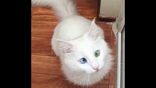 Cat Has Stunning Eyes    ViralHog