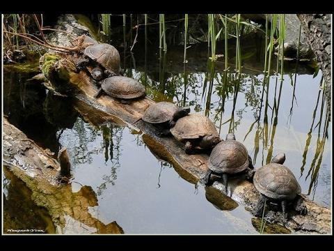 Встретили черепаху в глухозимье. А о рыбе так и не слышно... (
