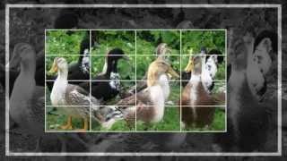 видео Руанская порода уток: описание, фото, обзор