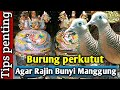 Burung Perkutut Agar Rajin Bunyi Manggung  Mp3 - Mp4 Download