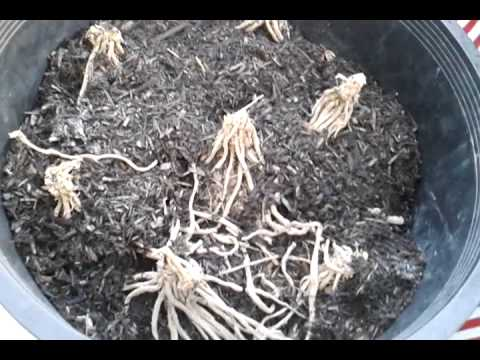 Growing Purple Asparagus In Containers