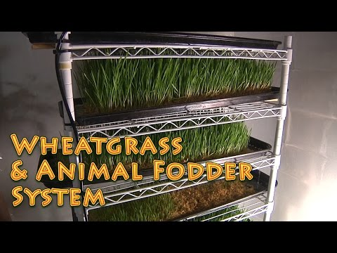 Wheatgrass Fodder System - How to for humans and livestock