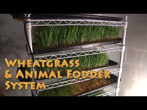 Wheatgrass Fodder System