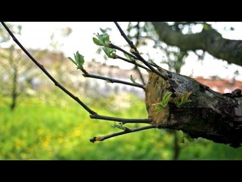 Прививка деревьев. Как и зачем делать прививку деревьев. Садовод.