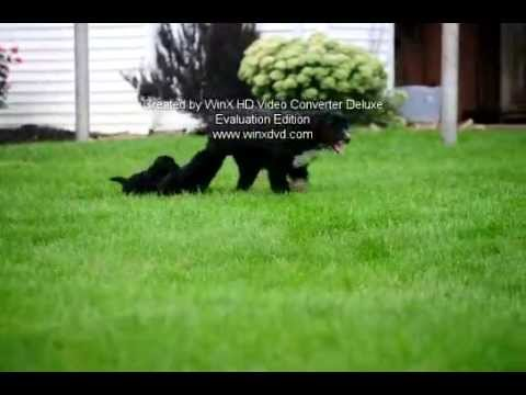 Portuguese Water Dog Mix Puppies For Sale