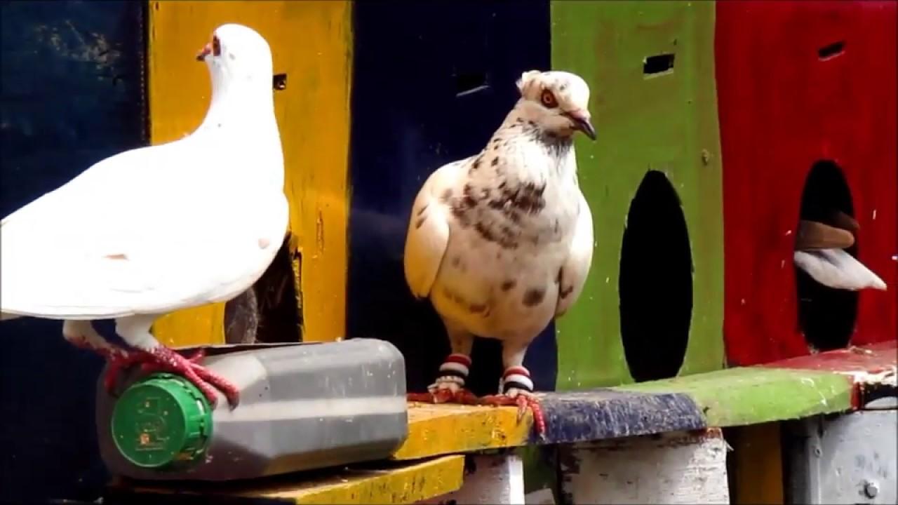 AYAM BANGKOK: Ayam Bangkok