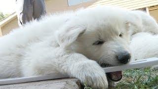Shepherd Puppies Predict The Temperature
