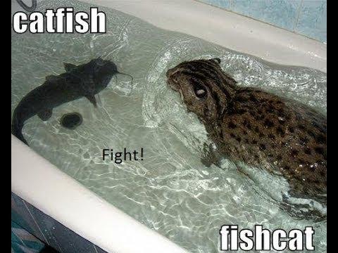 Katzenfisch