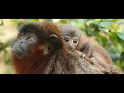 Secret Ape: Story Of Distinctive Xenothrix Fossil Show - YouTube