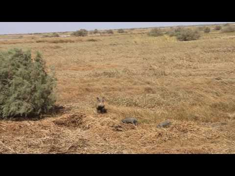 Common warthog (Phacocherus africanus), PN Diawling, Mauritania