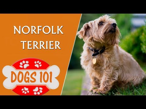 Dogs 101 - Norfolk Terrier - Top Dog Facts About The Norfolk Terrier