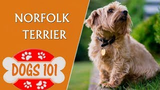 Dogs 101  Norfolk Terrier  Top Dog Facts About the Norfolk Terrier