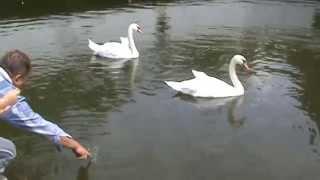 Лебеди в парке Чкалова (Swans in the park Chkalov)(Данное видео снималось в парке Чкалова в городе Днепропетровск., 2015-02-18T16:03:49.000Z)