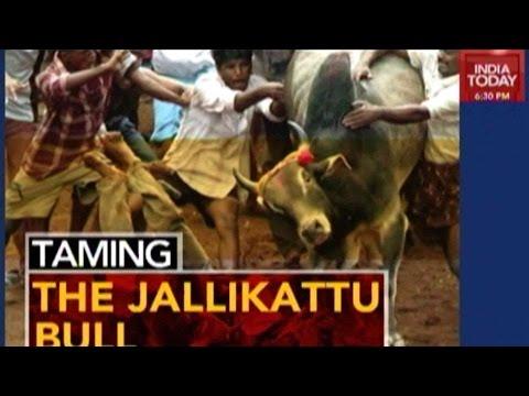 Taming The Jallikattu Bull: Sport Or Animal Cruelty
