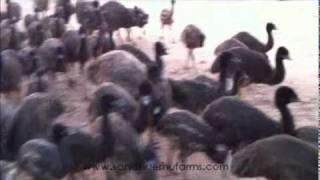 Sandhu Emu Farms Punjab