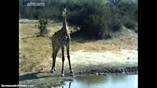 Afryka Płd. - żyrafa przy wodopoju - 25.08.12