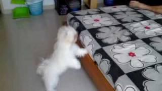 Cute Maltese Jump