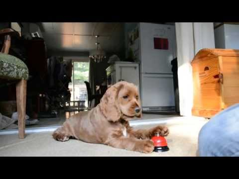 Cutest 4 months old Cocker Spaniel Puppy ringing Bell trick !
