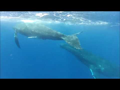 Dive Adventures   Tonga   Swimming with Humpback Whales