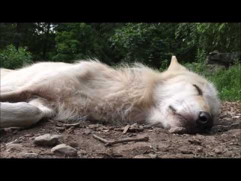 Wolf Howling in Her Sleep