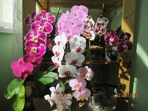 Почему орхидея не цветет? Пять причин.