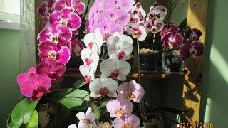 Фаленопсис в домашних условиях или как цветут мои орхидеи
