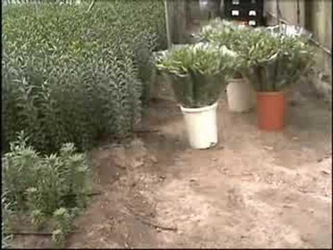 Producci n de lilium en el vivero youtube for Produccion de plantas en vivero pdf