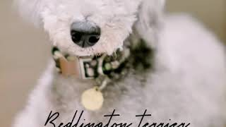 Bedlington Terrier l information and facts l Buddy canine