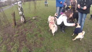 Brighton Pug Meet Up Valentines Day 2015