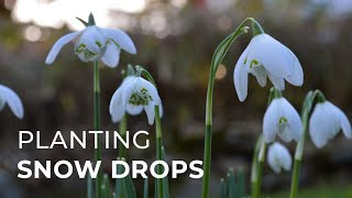 Gardening tip: How to plant natural drifts of Snowdrops