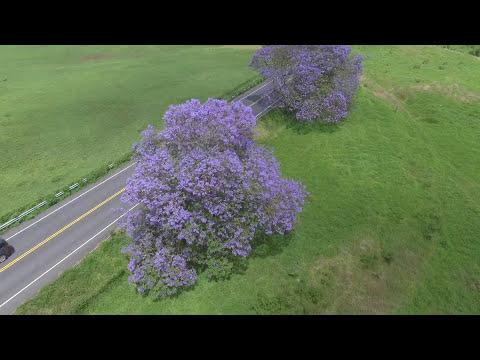 Jacarandas Trees Blooming In Kula Pastures