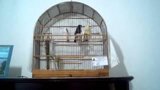 """Mestre da escola de canto de curio praia classico  """"MR"""" cisne negro"""