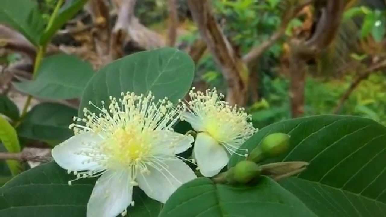 Bees foraging guava flower / Lebah dan kumbang mencari ...