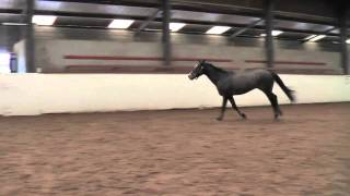 Loose schooling Jumping on voice command 3 year old Irish Sport Horse