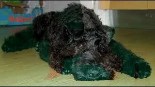 Kerry blue terrier. Pros y contras, precio, Cómo elegir, hechos, cuidado, historia