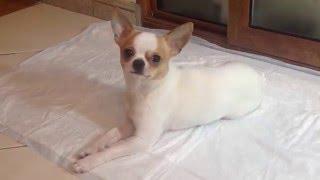 Как приучити собаку к пеленке(1. Первое, что нужно сделать - выбрать место, где будет стоять лоток или лежать пеленка. 2. Место не должно..., 2016-01-07T09:20:08.000Z)
